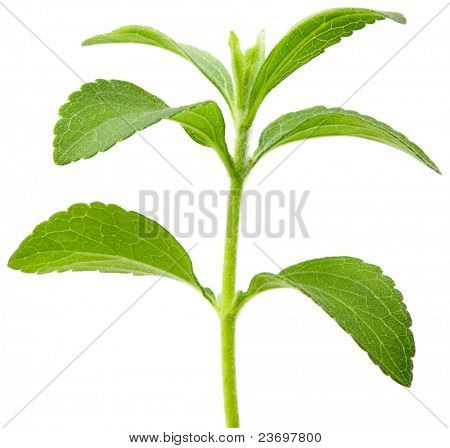 Full focus of Stevia rebaudiana, sweetleaf sugar substitute cutout