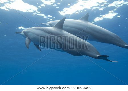 Hawaiian Spinner Dolphin