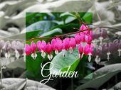 Dicentra In Spring Garden Nature Flowers Flora Floristics Botany Bloom Garden Seasonal Concept Backg poster