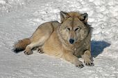 Wolf In The Wild In Winter, Gray Wolf With A Predatory Look poster
