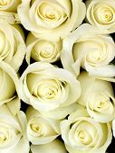 pic of white roses  - white roses background - JPG