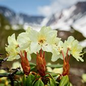Spring Flora Of Kamchatka: Beauty Golden Flower Rhododendron Aureum On Background Of Mountains On Su poster
