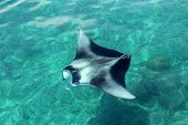 pic of manta ray  - Manta Ray swims on the surface of the ocean - JPG
