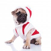side view of adorable santa pug looking to side while sitting on white background poster