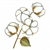 Vector Stem With Outline Cotton Boll With Leaf And Capsule In White And Brown Isolated On White Back poster