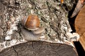 Постер, плакат: Burgundy Snail helix Roman Snail Edible Snail Escargot Crawling On The Trunk Of Old Aspen Tree