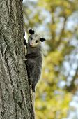 picture of opossum  - a young opossum climbing on a tree - JPG
