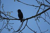 Bird Silhouette On The Sky Background. Bird Singing And Sitting On A Tree. Blue Background. Bird: Co poster