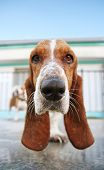 stock photo of basset hound  - a dog in a swimming pool - JPG