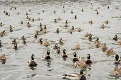A Group Of Beautiful Brown And Green Ducks And Drakes Swim In The River poster