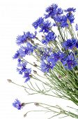 image of flower arrangement  - Beautiful blue cornflower isolated on white background - JPG