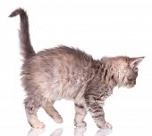 Maine Coon kitten 2 months old. Cat isolated on white background. Portrait of beautiful domestic gra poster