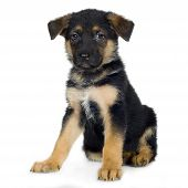 image of cute puppy  - german shepherd  - JPG