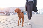 The Owner Walks Around The City With A Dog Of The Magyar Vizsla Breed. A Beautiful Dog Walks On A Le poster