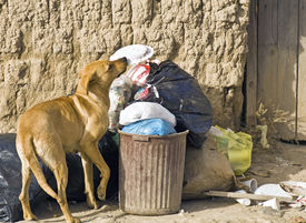 stock photo of bag-of-dog-food  - Street dog looking for food in a trash container - JPG