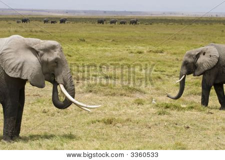 The Elephants Of Amboseli