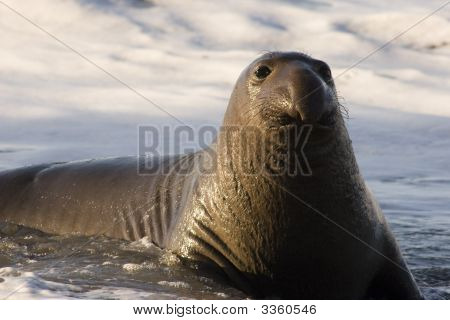 Northern Seal (Mirounga Angustirostris)