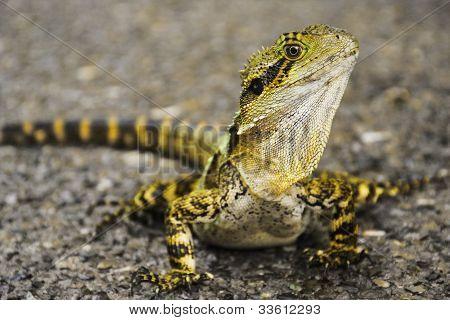 Australian Lizard