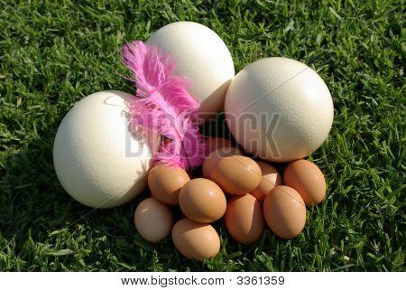 Ostrich Eggs Vs Chicken Eggs