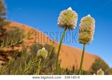 Australian Desert Outback Flowers