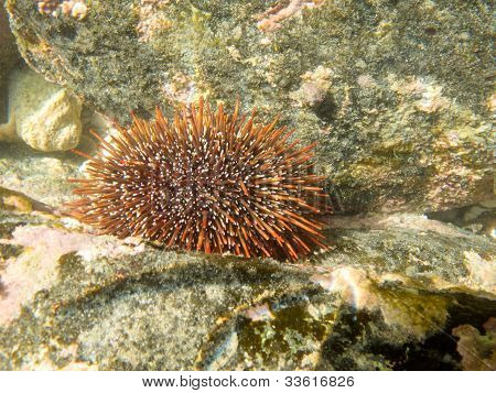 Underwater shot of sea urchin on submerged rocks