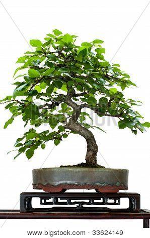 Little Hornbeam Tree As Bonsai
