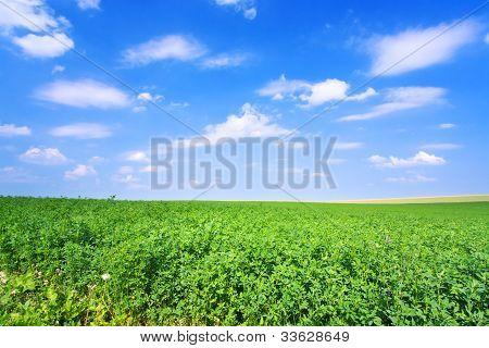Green Lucerne Field Blue Sky