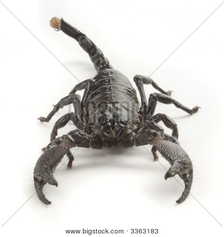 Scorpion Front View