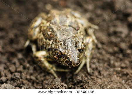 Earthen Frog .close Up.