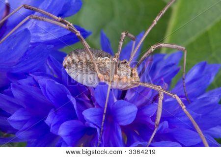 Daddy Long Legs On Blue Flower