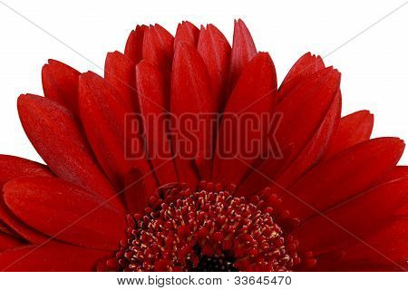 Isolated Gerbera Daisy