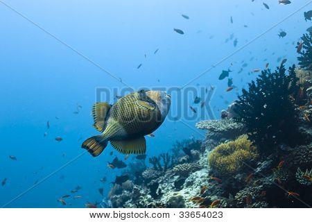 Balistidae Triggerfish