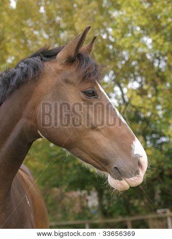 Bay Horse Head Shot