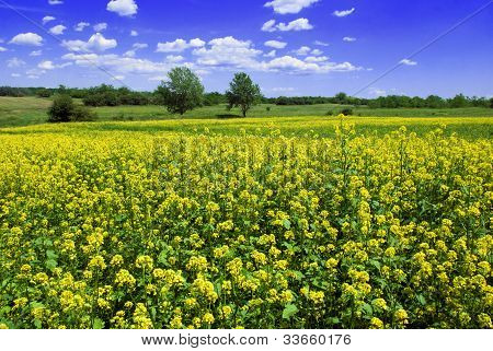 Beautiful Mustard Field