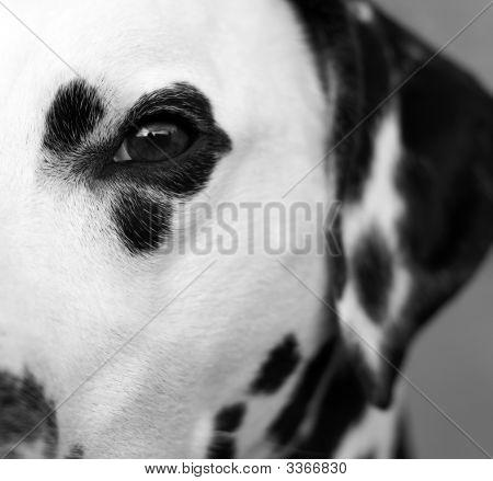 Half A Dalmatian