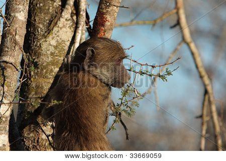 young chacma baboon