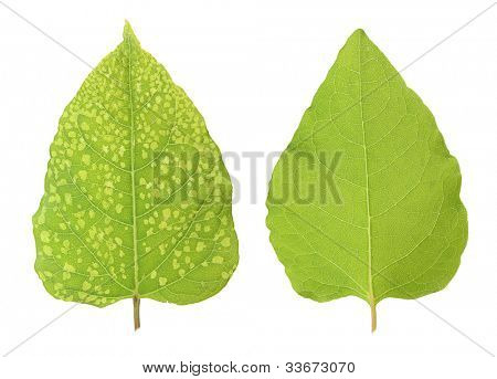 Diseased and healthy leaf isolated on white background.