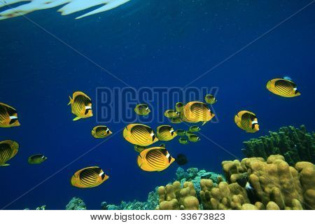Shoal of Fish: Butterflyfish on Coral Reef in the Red Sea