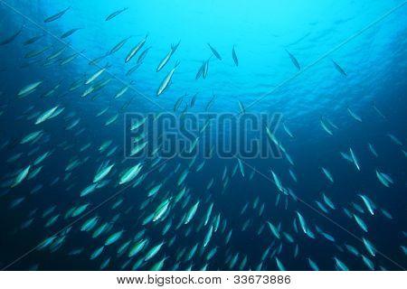 Shoal of Fusilier Fish in blue Ocean
