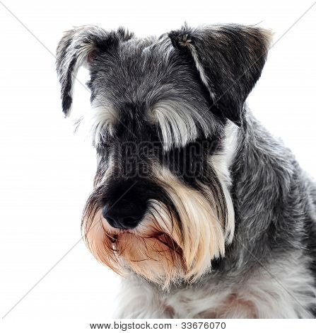 Black Schnauzer Dog Looking Down