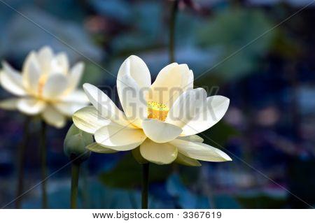Enchanting Lotus