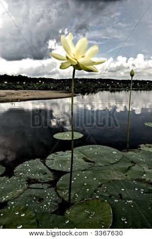 Stormy Lotus
