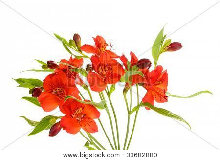 Alstroemeria red flowers isolated on white