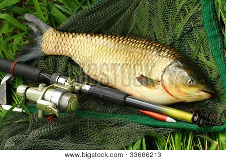 The White Amur or Grass Carp (Ctenopharyngodon idella) grow large and are strong fighters on a rod and reel, but because of their vegetarian habits and their wariness, they can be difficult to catch.
