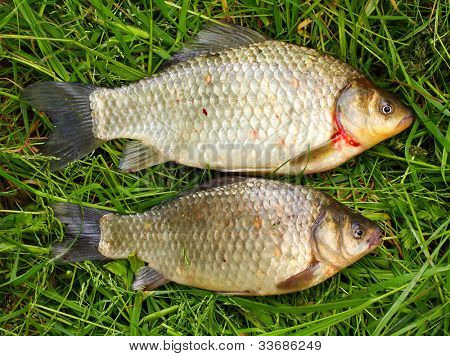 Two wild Prussian carp (Carassius auratus gibelio). Goldfish were bred from wild Prussian carp in China, and they remain the closest wild relative of the goldfish.