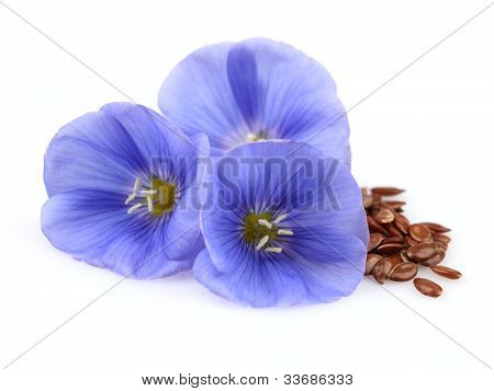 Beauty flowers of flax with seeds