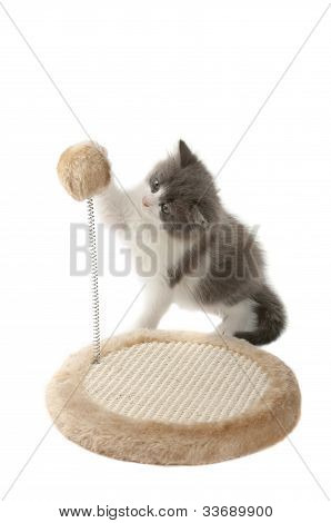 Kitten sharpening it claws