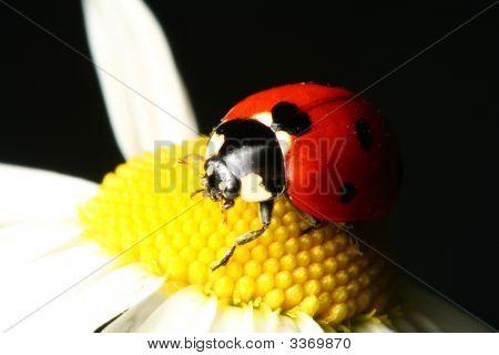 Summer Ladybug