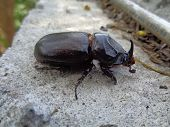 Asiatic Rhinoceros Beetle The Exotic Animal From Asia (indonesia) poster