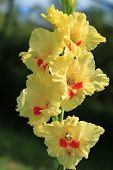 stock photo of gladiola  - Gladiola  - JPG